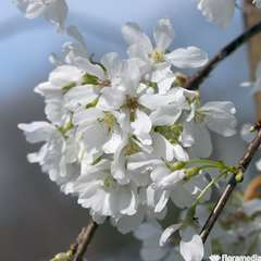 Prunus 'Snow Fountains' :pot 7L
