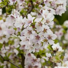 Prunus 'Kojo No Mai' :touffe pot 4,5L