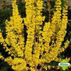 Forsythia 'Mikador'® :pot 10L