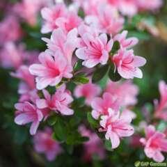 Azalea japonica 'Kirin':pot 3L