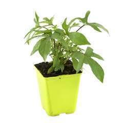 Plant de patate douce 'Tahiti' : pot de 1 litre