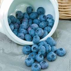 Myrtillier 'Blue Crop' : pot de 1,3 litres