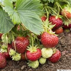 Plants de fraisiers 'Senga Sengana' bio : barquette de 4 plants