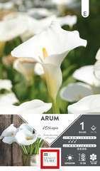 Arum d'Ethiopie 14/16 X1