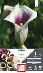 Arum Picasso 14 X1
