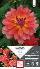 Dahlia nain double Tricolor Label Rouge  I x1