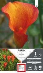 Arum Hotshot 14/+ X1