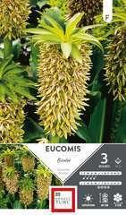 Eucomis Bicolor 14/+ X3