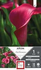 Arum Pink Persuasion 14/+ X1