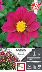 Dahlia simple Annabelle Fleurs de France x1