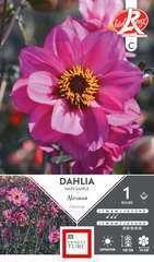 Dahlia nain simple Nirvana Fleurs de France x1