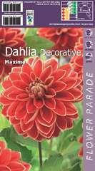 Dahlia decoratif rouge-jaune x1