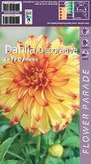 Dahlia decoratif lady darlene x1