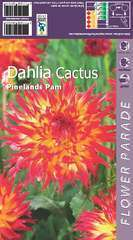 Dahlia frangérange/jaune x1