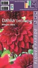 Dahlia decoratif red mingus x1