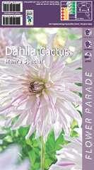 Dahlia cactus moms special x1
