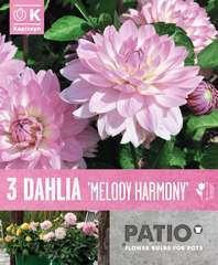 Dahlia court melody harmony x3