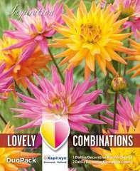 Dahlia decoratif karma x3