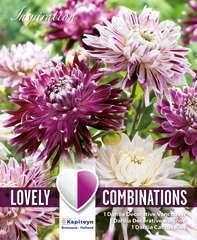 Dahlias decoratifs violet-blanc x3