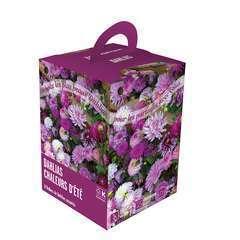 Dahlias violet-blanc