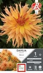 Dahlia Cactus Aurore Fdf I X1