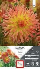 Dahlia Dentele Eclair I X1