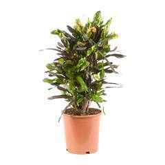 Croton Mammy' : pot D21 x H70cm