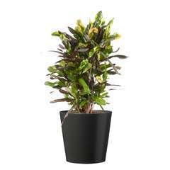 Croton Mammy' : cache- pot gris D21cm