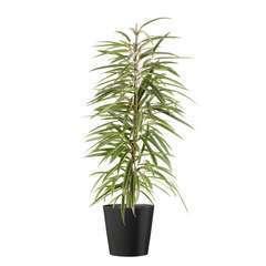 Ficus binnendijkii 'Alii' cache-pot gris  D21cm