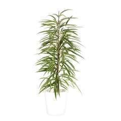 Ficus binnendijkii 'Alii' cache-pot blanc D21cm