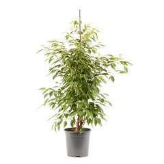 Ficus benjamina Anastasia pot D21 x H105cm