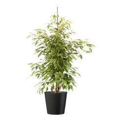 Ficus benjamina Anastasia cache-pot gris D21cm