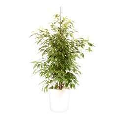 Ficus benjamina Anastasia cache-pot blanc D21cm