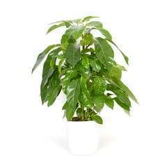 Schefflera Amate cache- pot blanc D21cm