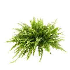 Nephrolepsis Green Lady' cache-pot blancD19cm