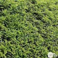 Prunus lusitanica 'Angustifolia' 1/2 tige : pot 15L
