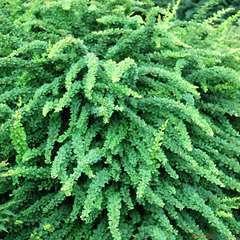 Berberis Thunbergii Green Carpet C 4L