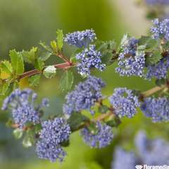 Ceanothus Arboreus Blue C 4L.
