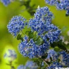Ceanothus Impressus Puget Blue C 4L.