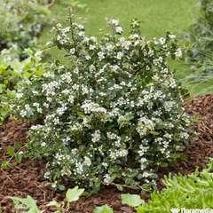 Cotoneaster dammeri 'Coral Beauty':pot 4L