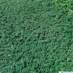 Cotoneaster dammeri 'Evergreen':pot 4L