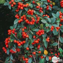 Cotoneaster franchetti:pot 7,5L