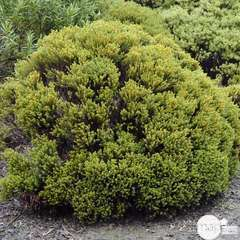 Hebe 'Green Globe':pot 4L