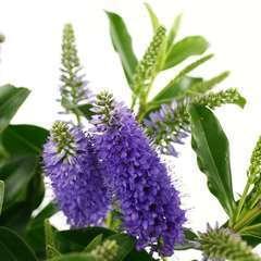 Hebe x 'Royal Blue':pot 4L