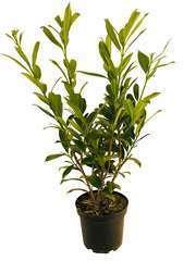 Prunus laurocerasus 'Caucasica':pot 5L