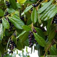 Prunus laurocerasus 'Novita':pot 3L