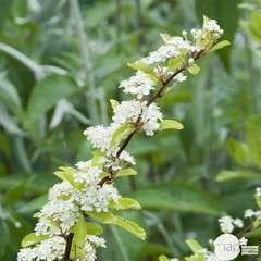 Pyracantha coccinea Saphyr jaune® 'cadaune' c.o.v.:pot 7.5L