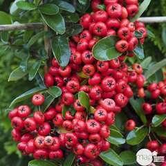 Pyracantha coccinea Saphyr rouge® 'cadaune' c.o.v.:pot 7.5L