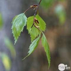 Betula Youngii C.7,5L