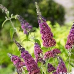 Buddleia Davidii Flower Power C 4L.